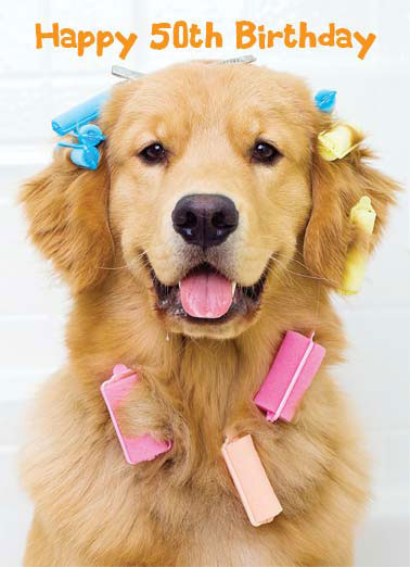 Beautiful (50) Funny Birthday  50th Birthday A Golden Retriever wearing multicolored curlers. | cute dog k9 golden retriever wear pink blue beautiful year birthday 50 Here's to another beautiful year!