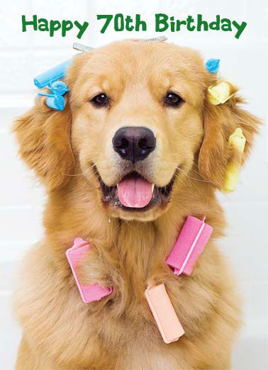 Beautiful (70) Funny Birthday Card 70th Birthday A Golden Retriever wearing multicolored curlers. | cute dog k9 golden retriever wear pink blue beautiful year birthday 70 Here's to another beautiful year!