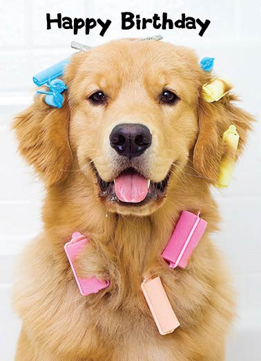 Funny Birthday Card Dogs Golden Retriever, Curlers, Cute, Here's to another Beautiful year!