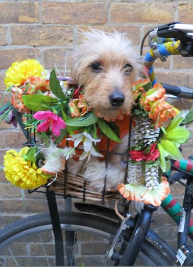 Blossom (Easter) Funny Easter  Dogs Picture of a dog in the basket of a bike with flower. | dog basket eggs flowers blossom candy fun hope bike ride  Hope your Easter Blossoms with fun!