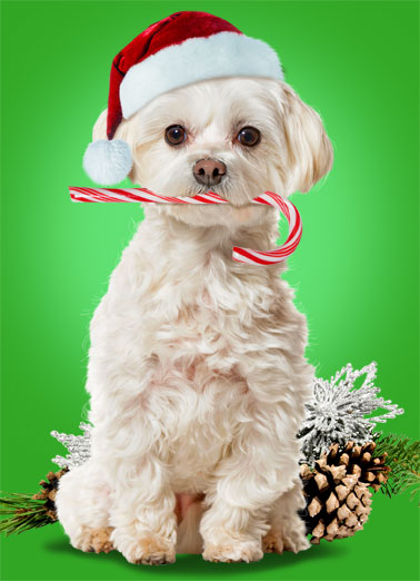Candy Cane CF Funny Christmas  Dogs A photo of a dog with a candy can in its mouth. | candy cane dog merry Christmas Santa hat wish wishing you season holiday  Wishing you All Good Things at the Holidays and Always.