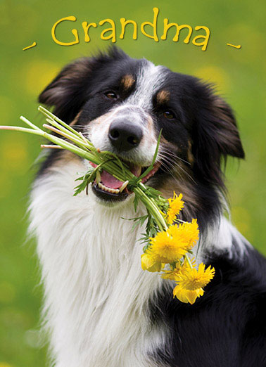 Grandma Collie Funny Dogs Card    Happy Mother's Day with bunches of love.