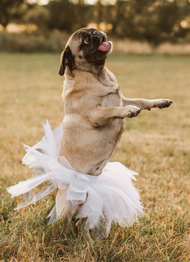Pug In Tutu Funny For Any Time Card  Practice social distancing by sending someone special a personalized greeting card today! | quarantine thinking of you pug tutu dancing funny off the craziness funny  Thought a dancing pug in a tutu might take your mind off the craziness out there.