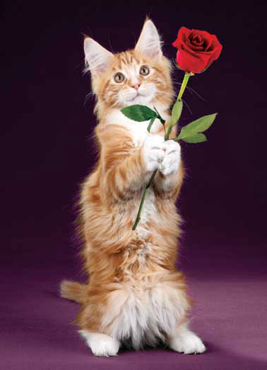 Rose Cat Funny Cats Card  Valentine's Day, Valentine, Happy Valentine's Day, Happy, Cat, Kitten, Rose, Flower, love, like, purr, cute, funny, humorous, adorable, greeting card, greeting, card,   Wishing you a PURRFECTLY wonderful Valentine's Day!